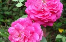 rose-flower-12